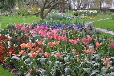 Photo d'un parterre de tulipes allant du corail au violet en passant par le rose